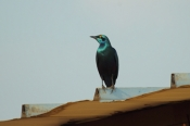 GreaterBlueEaredStarling_6669