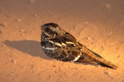 NightJar_NightDrive_4792