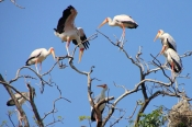 YellowBilledStorks_4716