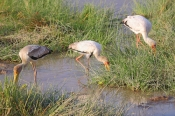 YellowBilledStorks_5418