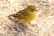 YellowFrontedCanary_1736